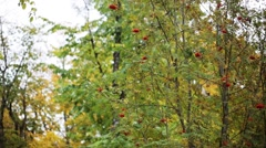 Autumn forest with rowan tree and birds Stock Footage