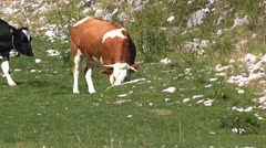 Cows on pasture Stock Footage