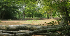 English woodland glade, Epping Forest, UK Stock Footage