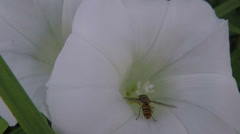 Bindweed - Calystegia sepium and pollinating hoverfly Stock Footage
