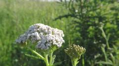Achillea millefolium, known as yarrow. Wildflower summer breeze Stock Footage