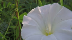 Bindweed - Calystegia sepium in morning light Stock Footage