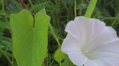 Bindweed - Calystegia sepium in summer breeze Stock Footage