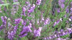 Heath - Calluna vulgaris in summer breeze Stock Footage