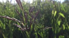 Bromus erectus in summer breeze Stock Footage