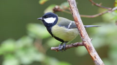 Great tit bird perched on branch knocking on seeds ambient audio Stock Footage