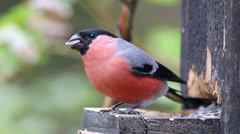 Eurasian bullfinch bird male feed on sees at birdfeeder turn ambient audio Stock Footage