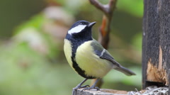 Great tit watching alerted turn fetch seeds fly away ambient audio Stock Footage