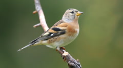 Brambling bird perched on branch watching alerted fly away Stock Footage