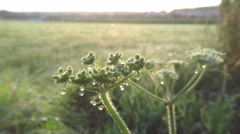 Cow parsnip (Heracleum mantegazzianum) flowers with morning dew Stock Footage