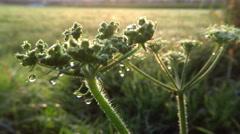 Cow parsnip (Heracleum mantegazzianum) with morning dew in agriculture Stock Footage