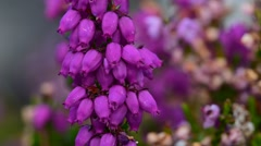 Close up of bell heather / heather-bell (Erica cinerea) in flower Stock Footage