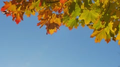 Autumn colorful bright branch tree with bright foliage on a blue sky background Arkistovideo