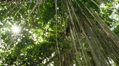 Dense tropical forest with twisted liana vines hanging from high trees of jungle Stock Footage