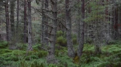 Scots Pine (Pinus sylvestris) tree trunks in Caledonian forest in Scotland Stock Footage