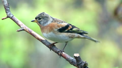 Brambling bird on branch turn watching alerted fly away Stock Footage