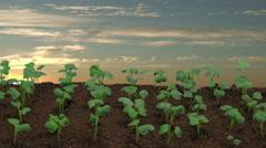 Time lapse of growing radish vegetables field on sunrise Stock Footage