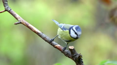 Blue tit watching alerted on branch fly away Stock Footage