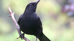 Common black bird amazing close up view perched on branch Stock Footage