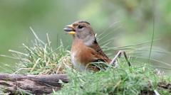 Brambling bird on ground feed on seeds turn fly away Stock Footage