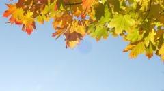 Autumn colorful bright branch tree with bright foliage on a blue sky background Stock Footage