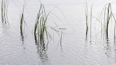 Reflection of blades of grass in water of lake during rain shower Stock Footage
