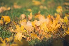 Yellow autumn Maple leaves on green grass. Bokeh blurred artistic background Stock Photos