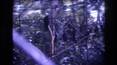 1977: a group of black birds sitting on a branch in a zoo enclosure HONOLULU Stock Footage