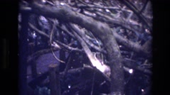 1977: sighting underneath the tree limbs. HONOLULU HAWAII Stock Footage