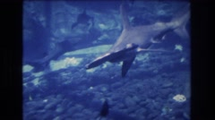1977: a hammerhead shark and other fish swimming under water HONOLULU HAWAII Stock Footage
