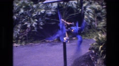 1977: two beautiful blue parrots and macaws wrestling while hanging  Stock Footage