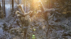 Short tilt from pine twigs into the golden winter sun Stock Footage
