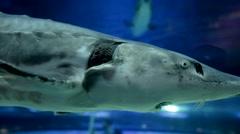 Skate Floating in Aquarium Stock Footage