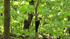 Pileated woodpecker in forest flies away Stock Footage