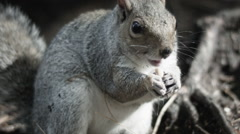 Close up of Gray Squirrel eating Stock Footage