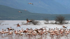 Flamingos landing on the shoreline of lake bogoria, kenya Stock Footage