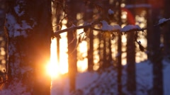 Lichens hanging from a pine branch are swaying in a winter breeze Stock Footage
