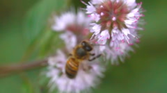 Bee and pink flower Stock Footage