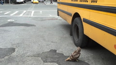 New York City Manhattan red-tailed hawk spotted standing in the middle of the Stock Footage