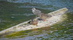 Three birds on the submerged boat Ireland Stock Footage