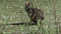 Red-necked wallaby kangaroo in autumnal Tierpark/Zoo, Berlin Stock Footage