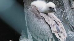 A sitting griffon vulture Stock Footage
