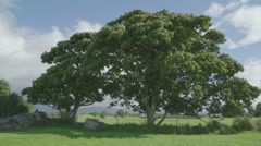 The big tree in the green pasture Ireland Stock Footage