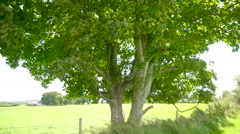 Closer look of the green leaves in the tree Ireland Stock Footage