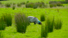 The white sheep eating grasses  Ireland Stock Footage