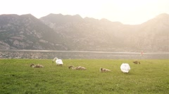 White Swans in a Meadow with Sun Shine Stock Footage