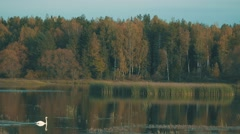 A flock of swans on the pond Stock Footage