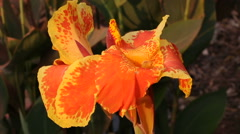 Orange iris in sunlight. Natural background with showy flowers. Cambodia Stock Footage