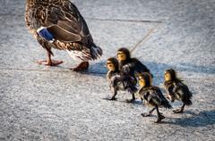 Baby ducks at the National World War II Memorial in Washington, DC. Stock Photos