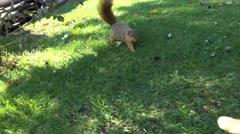 Hand Feeding Fox Squirrel Stock Footage